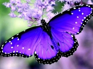purple.butterfly.05
